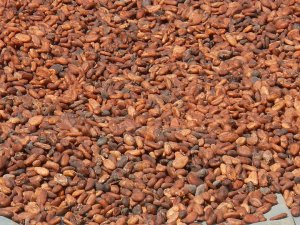 Cote d'Ivoire 4 Cocoa growers using trafficked children